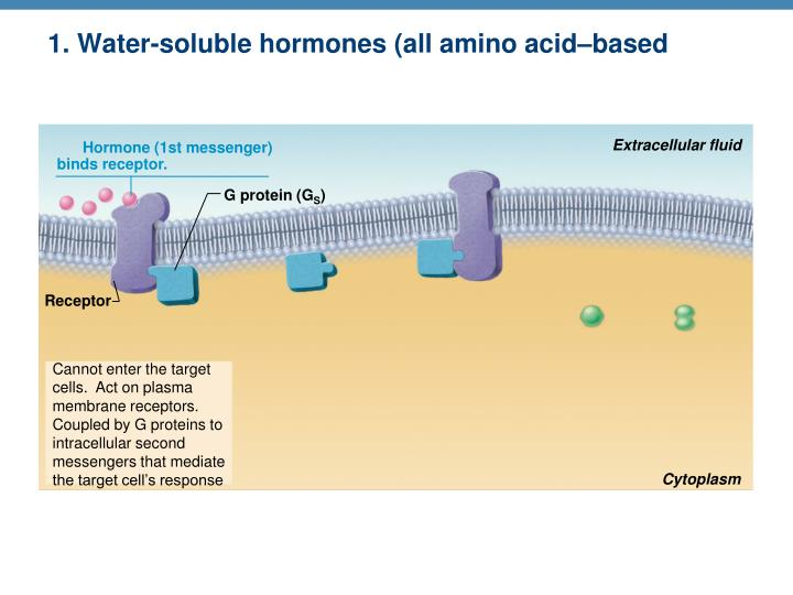 1. Water-soluble hormones (all amino acid–based hormones except thyroid hormone)