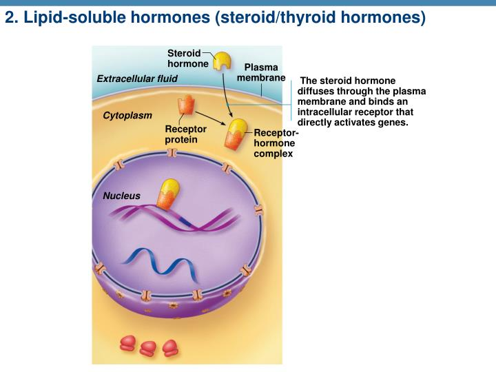 2. Lipid-soluble hormones (steroid/thyroid hormones)