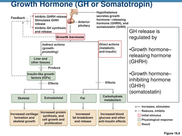 Growth Hormone (GH or Somatotropin)