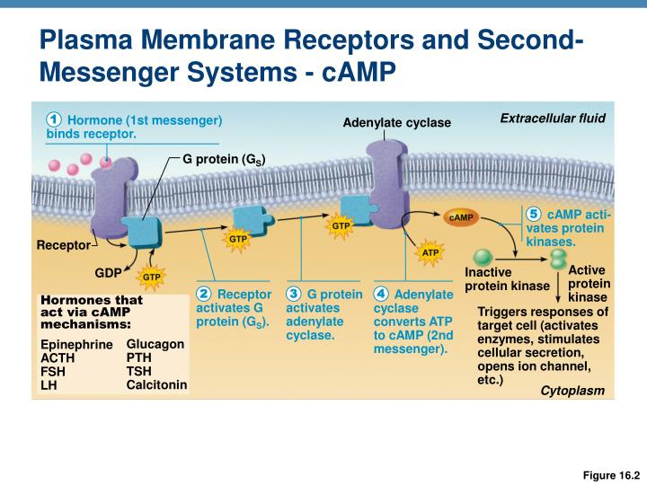 Plasma Membrane Receptors and Second-Messenger Systems - cAMP