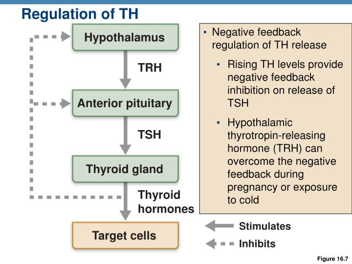 Regulation of TH