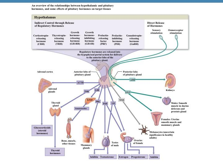 An overview of the relationships between hypothalamic and pituitary