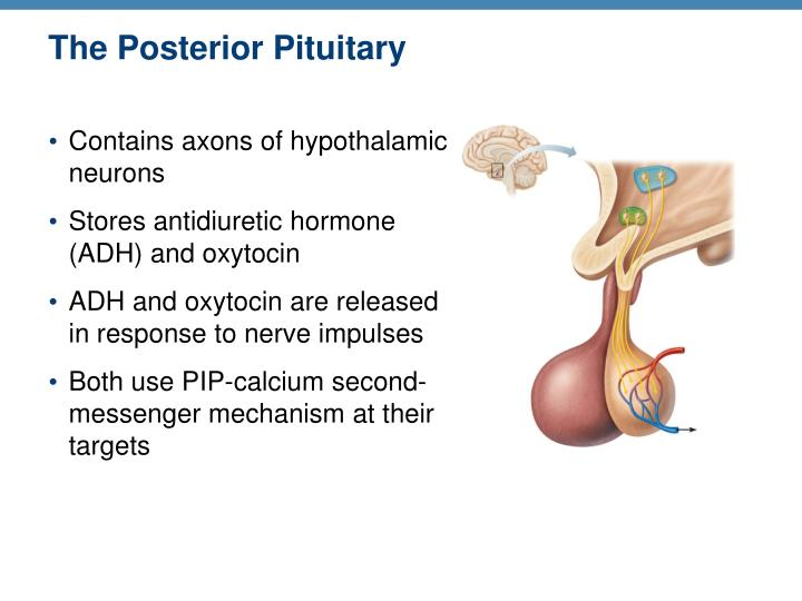 The Posterior Pituitary