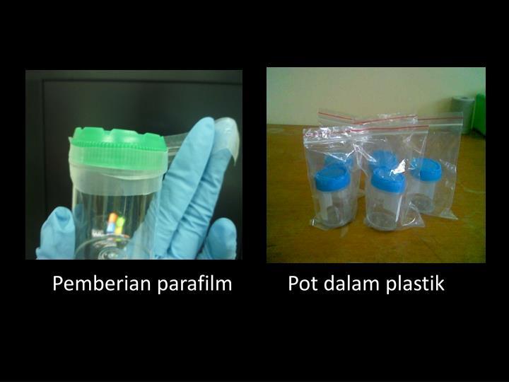 Pemberian parafilmPot dalam plastik