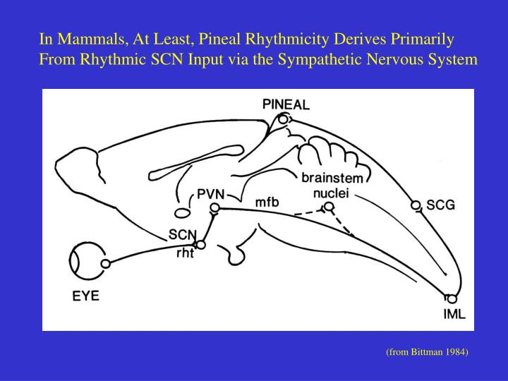 In Mammals, At Least, Pineal Rhythmicity Derives Primarily
