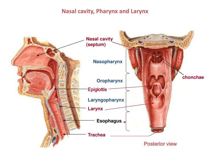 Larynx and pharynx anatomy