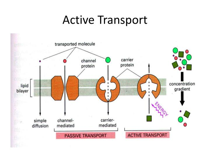 PPT - The Cell Membrane: Gatekeeper of the Cell PowerPoint ...