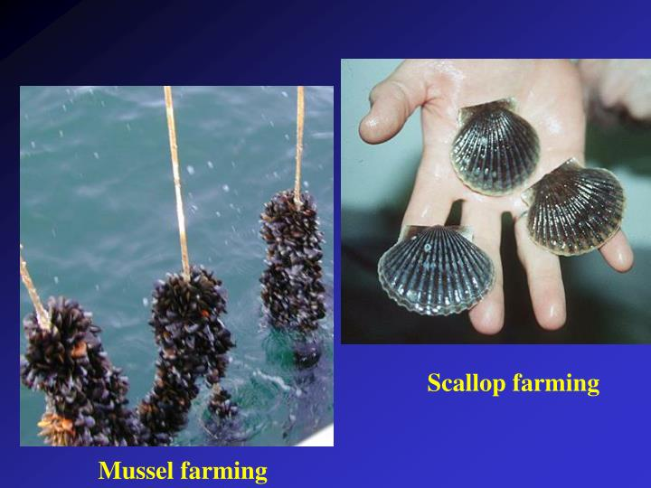 Scallop farming