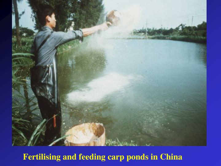 Fertilising and feeding carp ponds in China