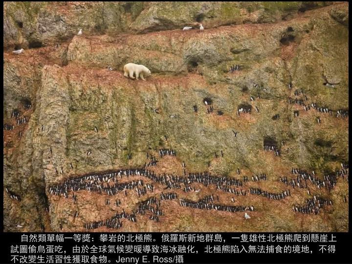 自然類單幅一等獎:攀岩的北極熊。俄羅斯新地群島,一隻雄性北極熊爬到懸崖上試圖偷鳥蛋吃,由於全球氣候變暖導致海冰融化,北極熊陷入無法捕食的境地,不得不改變生活習性獲取食物。