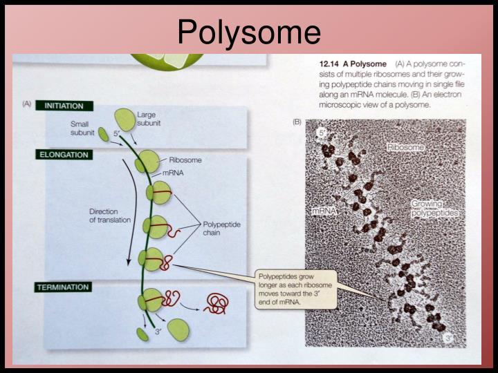 Polysome