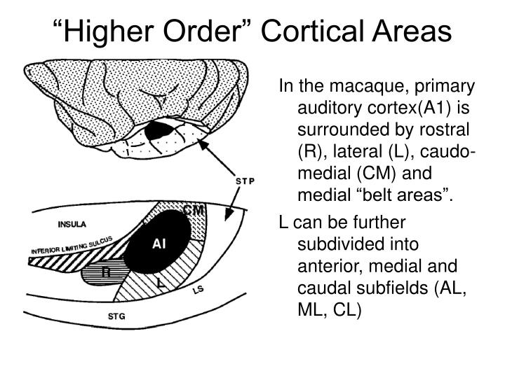 """Higher Order"" Cortical Areas"