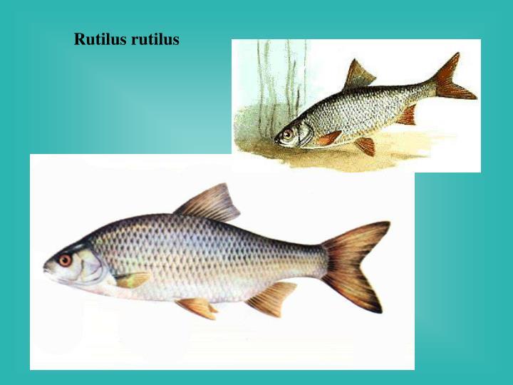 Rutilus rutilus