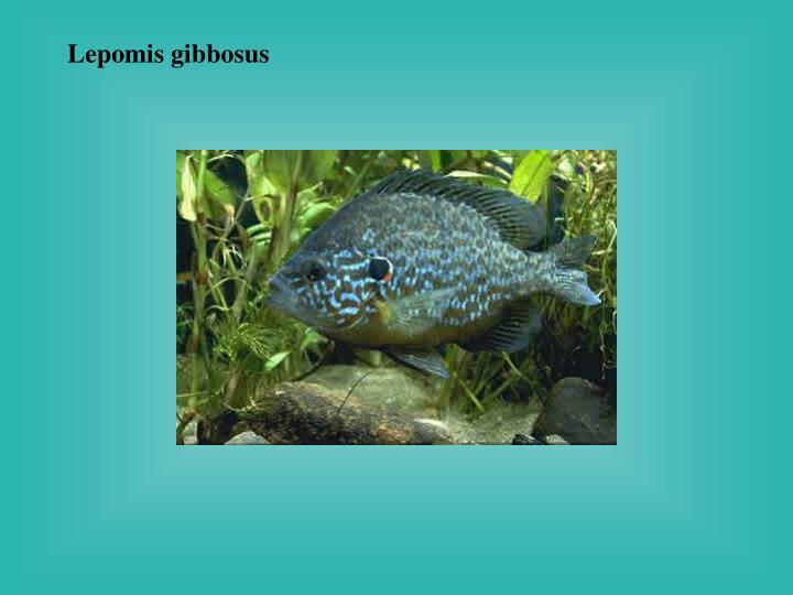 Lepomis gibbosus