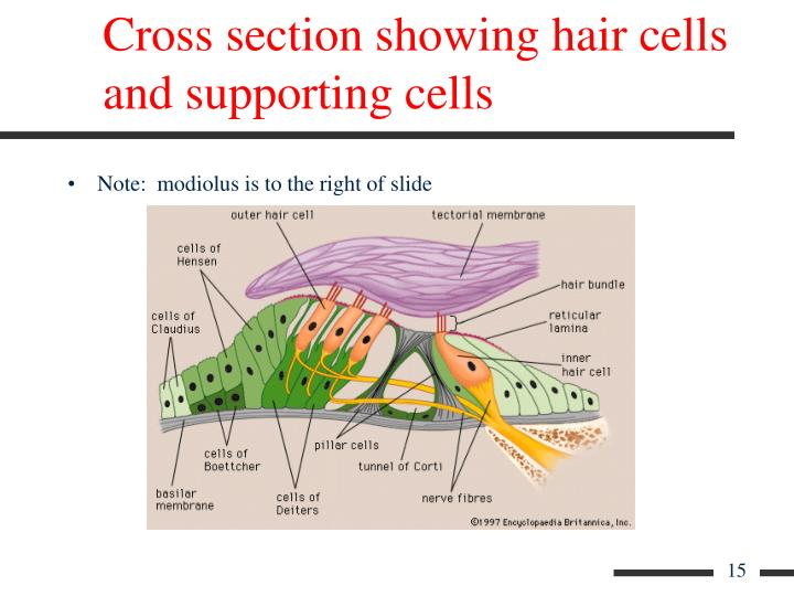 Cross section showing hair cells and supporting cells