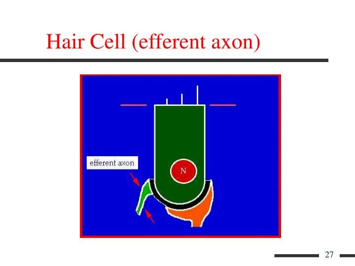 Hair Cell (efferent axon)