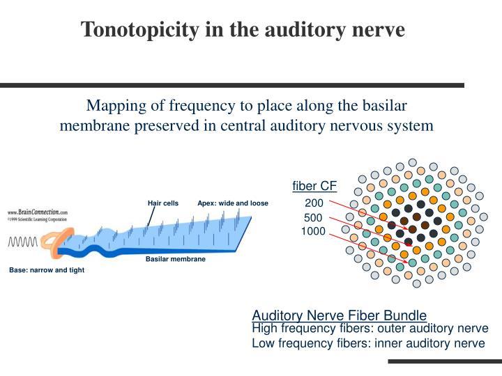 Auditory Nerve Fiber Bundle