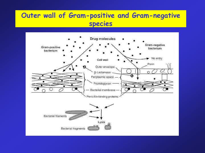 Outer wall of Gram-positive and Gram-negative species