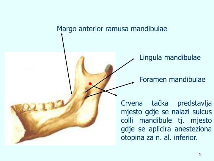 Margo anterior ramusa mandibulae
