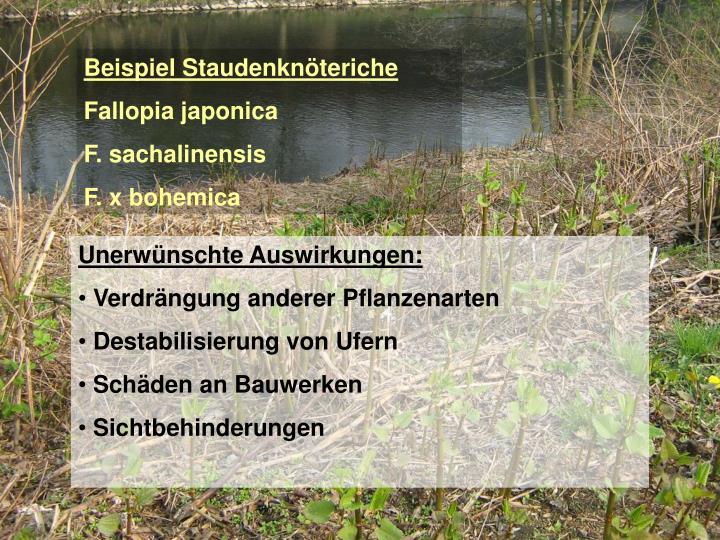 Beispiel Staudenknöteriche