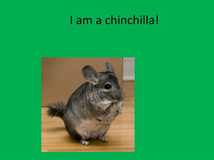 I am a chinchilla!