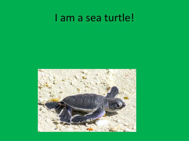 I am a sea turtle!