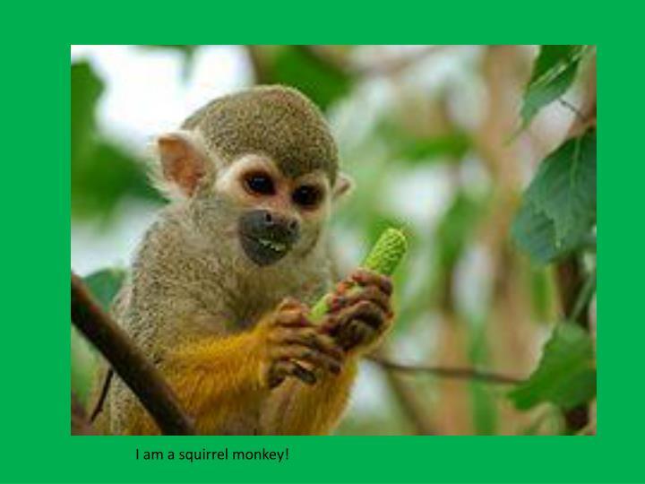 I am a squirrel monkey!