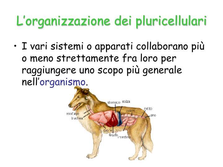 L'organizzazione dei pluricellulari