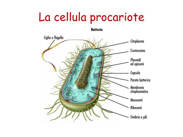 La cellula procariote