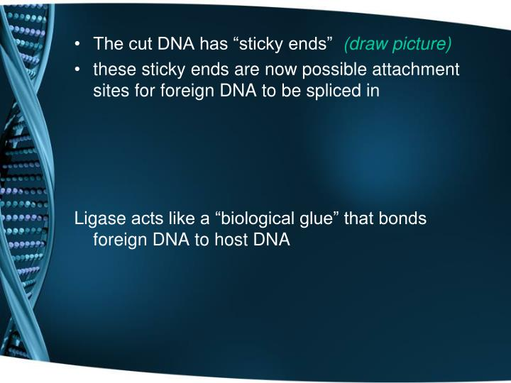 "The cut DNA has ""sticky ends"""