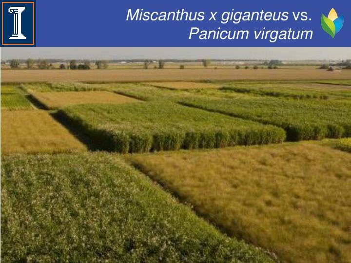 Miscanthus x giganteus