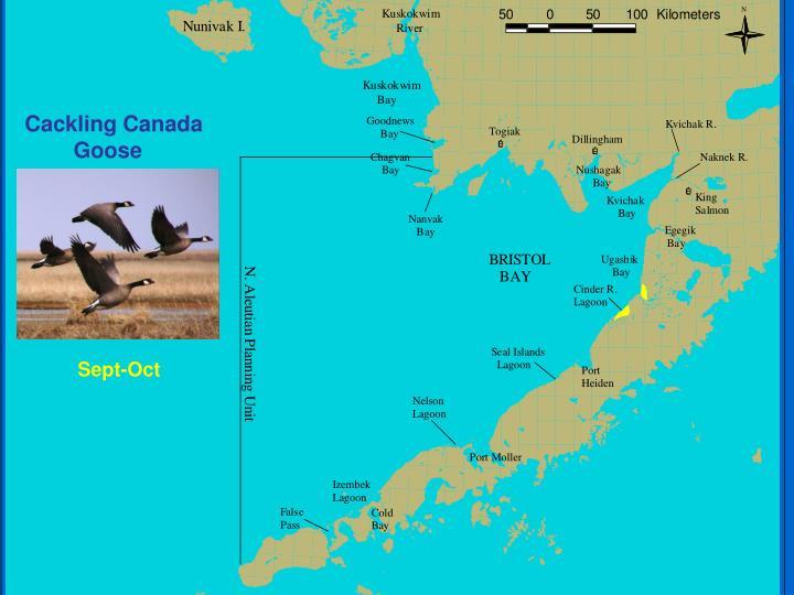 Cackling Canada