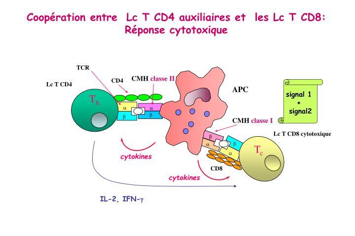 Coopération entre  Lc T CD4 auxiliaires et  les Lc T CD8: