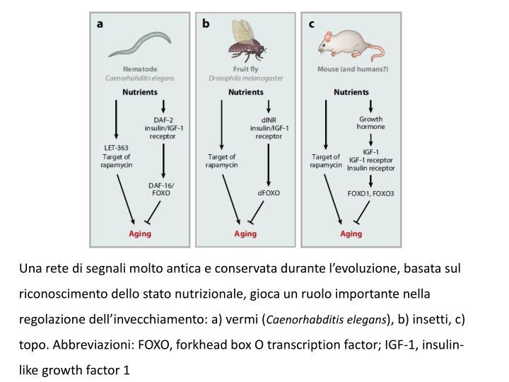 Una rete di segnali molto antica e conservata durante levoluzione, basata sul riconoscimento dello stato nutrizionale, gioca un ruolo importante nella regolazione dellinvecchiamento: a) vermi (