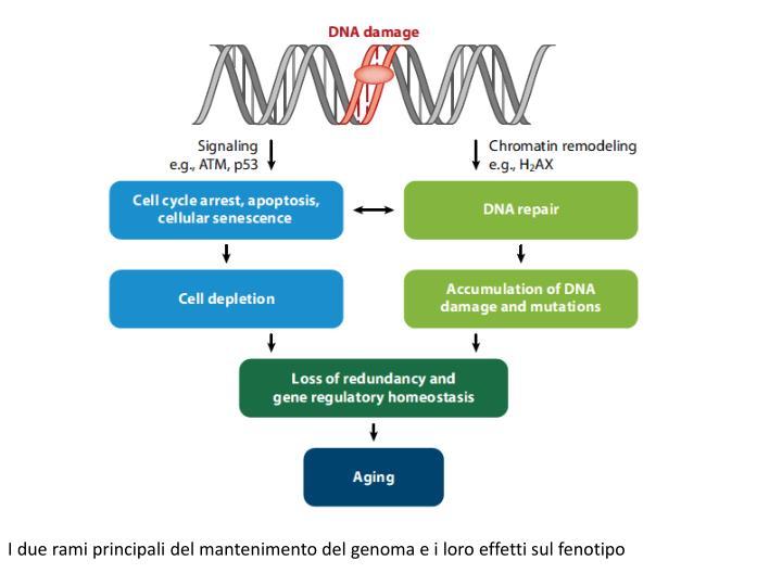 I due rami principali del mantenimento del genoma e i loro effetti sul fenotipo