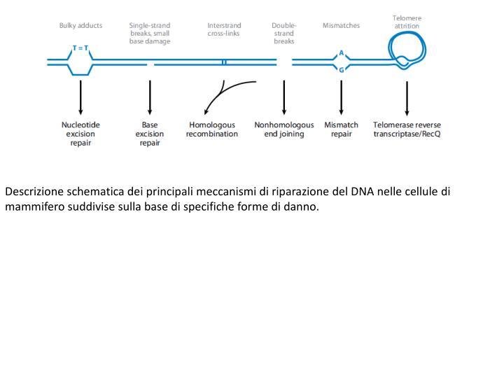 Descrizione schematica dei principali meccanismi di riparazione del DNA nelle cellule di mammifero suddivise sulla base di specifiche forme di danno.