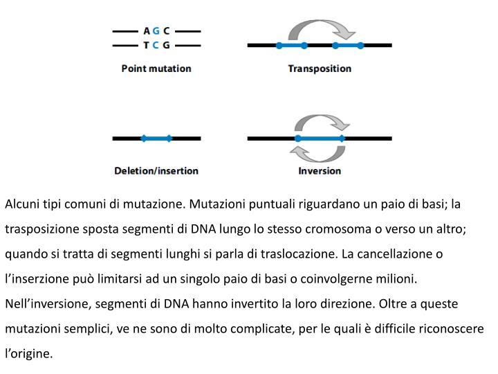 Alcuni tipi comuni di mutazione. Mutazioni puntuali riguardano un paio di basi; la trasposizione sposta segmenti di DNA lungo lo stesso cromosoma o verso un altro; quando si tratta di segmenti lunghi si parla di