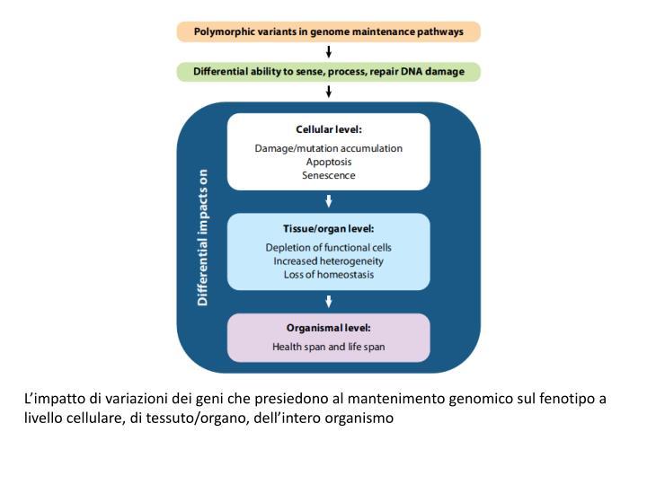 Limpatto di variazioni dei geni che presiedono al mantenimento genomico sul fenotipo a livello cellulare, di tessuto/organo, dellintero organismo