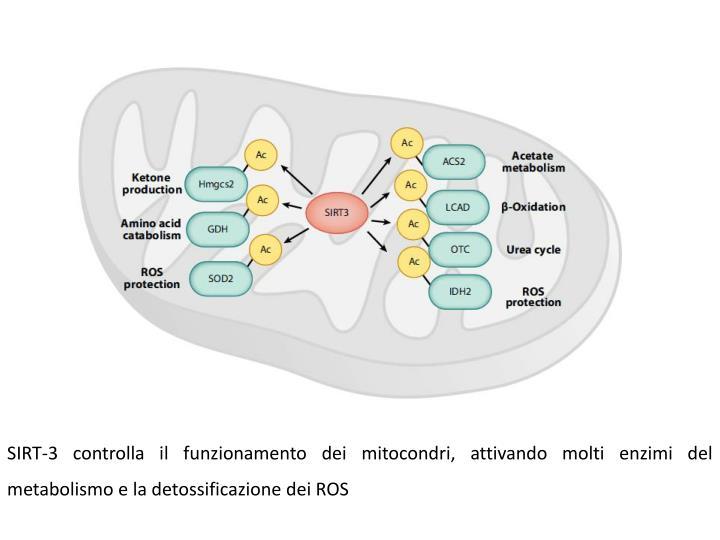 SIRT-3 controlla il funzionamento dei mitocondri, attivando molti enzimi del metabolismo e la