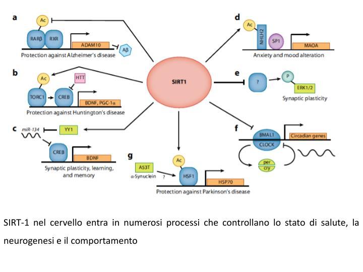 SIRT-1 nel cervello entra in numerosi processi che controllano lo stato di salute, la