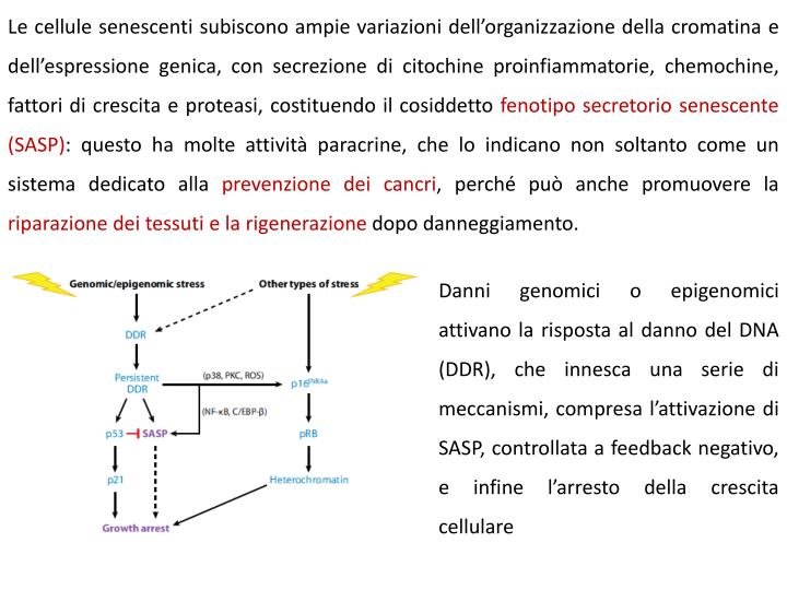 Le cellule senescenti subiscono ampie variazioni dellorganizzazione della cromatina e dellespressione genica, con secrezione di citochine