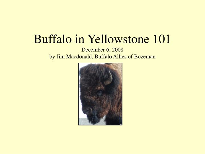 Buffalo in yellowstone 101 december 6 2008 by jim macdonald buffalo allies of bozeman