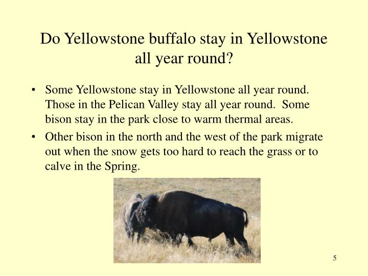 Do Yellowstone buffalo stay in Yellowstone all year round?