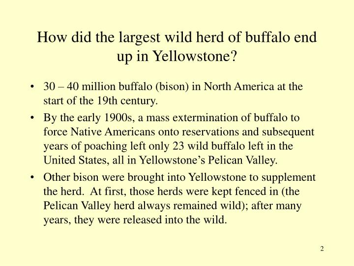 How did the largest wild herd of buffalo end up in Yellowstone?