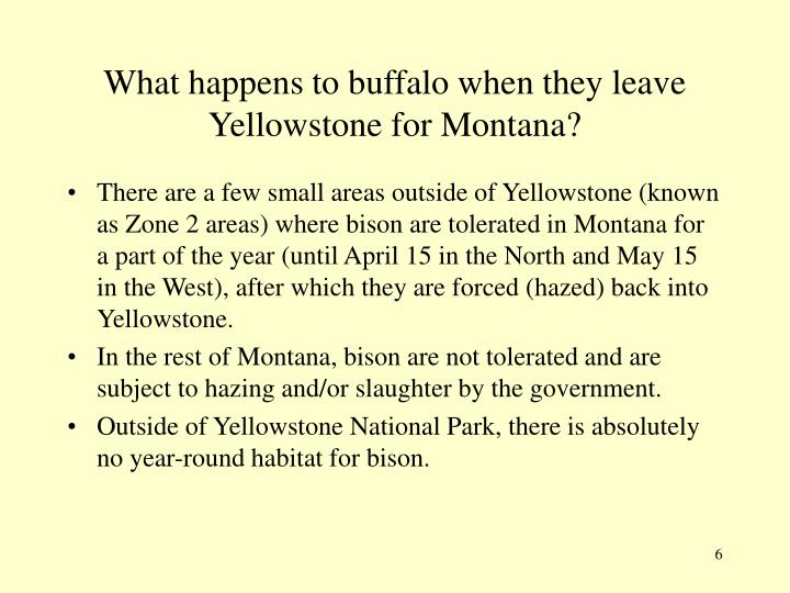 What happens to buffalo when they leave Yellowstone for Montana?