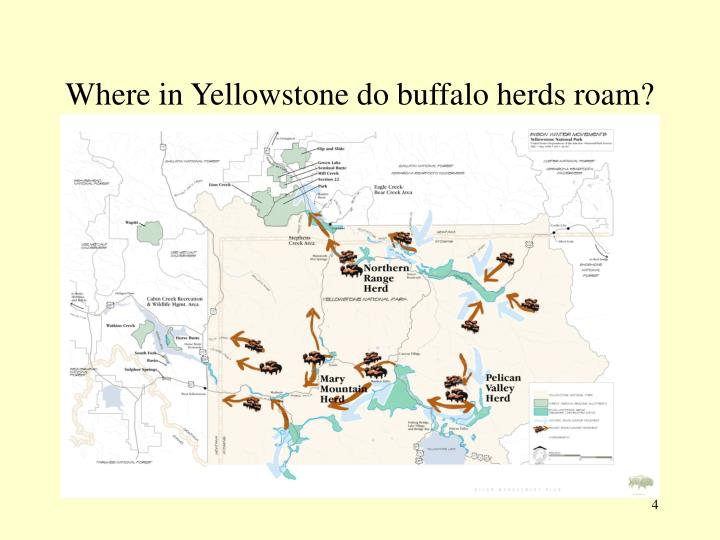 Where in Yellowstone do buffalo herds roam?