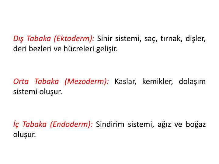 Dış Tabaka (Ektoderm):