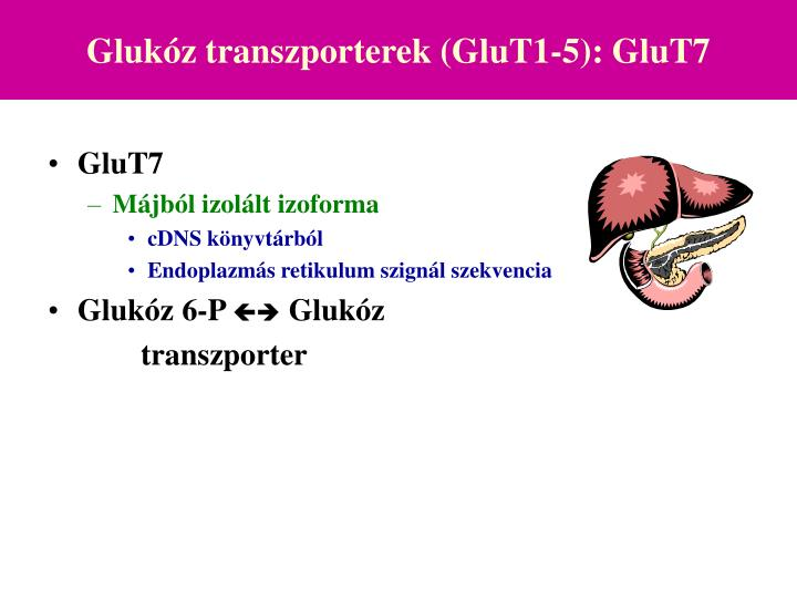 Glukóz transzporterek (GluT1-5): GluT