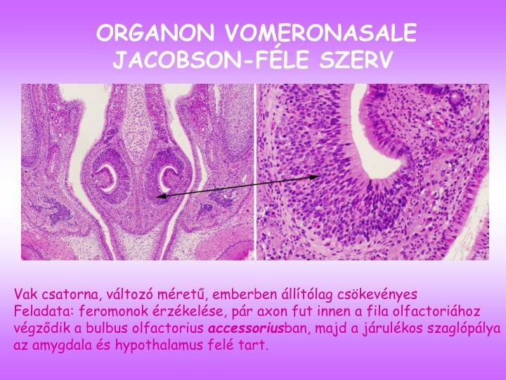 ORGANON VOMERONASALE