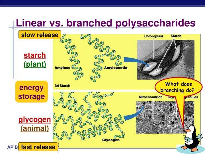 Linear vs. branched polysaccharides